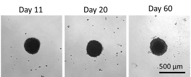 Hepatocyte viability